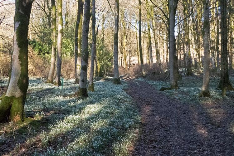 snowdrops at Holmhead 2018