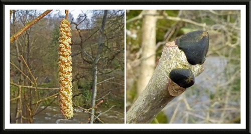 catkin and bud