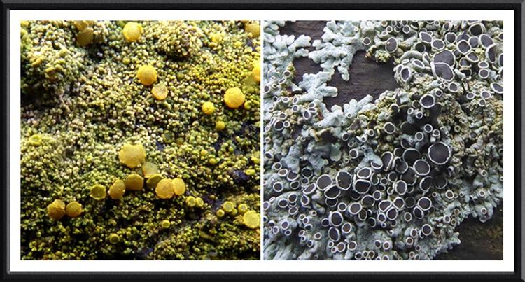 lichen on fence