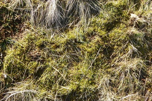 moss on Meikleholm Hill