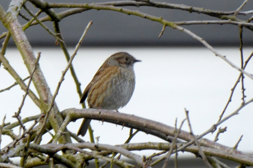 dunnock on pear tree