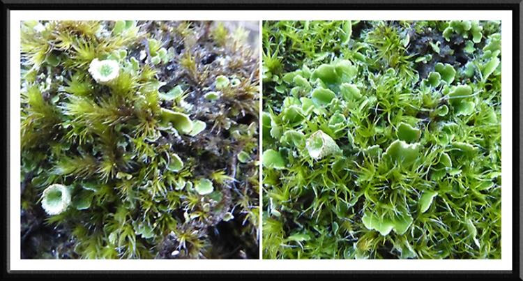 moss liverwort