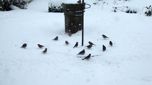 chaffinches in snow