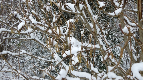 snow and catkins