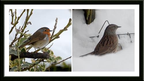 robin and dunnock