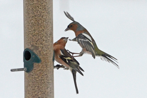 fighting chaffinches