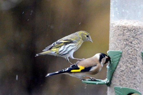 siskin attacking goldfinch