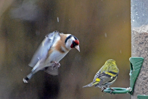 goldfinch attacking siskin