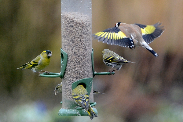siskins and goldfinch