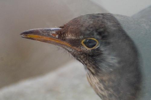 blackbird on windowsill