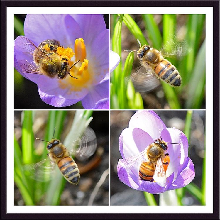 bees on crocus