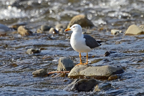 herring gull in river