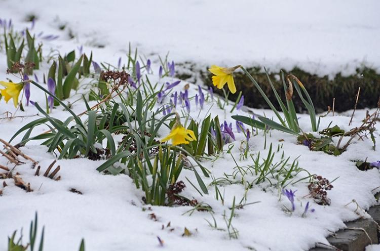 daffs in snow