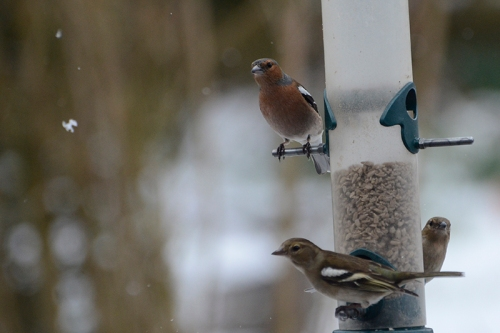 chaffinches and snowflake