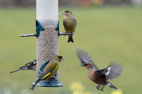 flying chaffinch and greenfinch