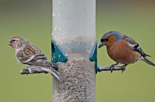 redpoll and chaffimnch
