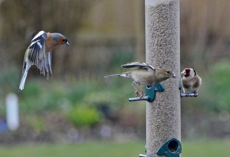 chaffinches at feeder