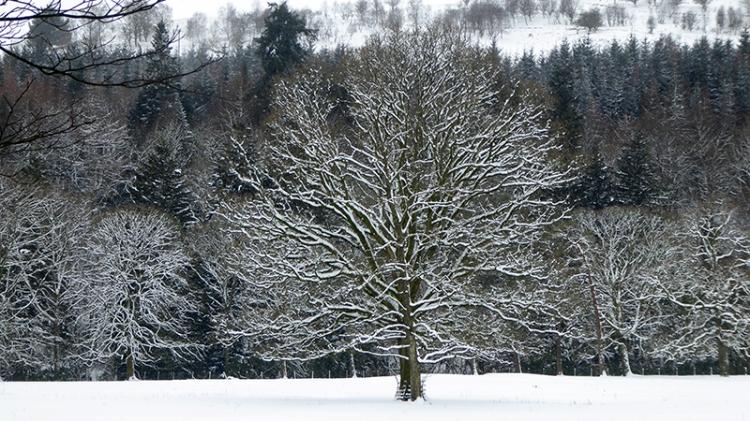 snowy bare tree