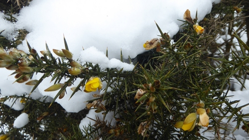 gorse in snow