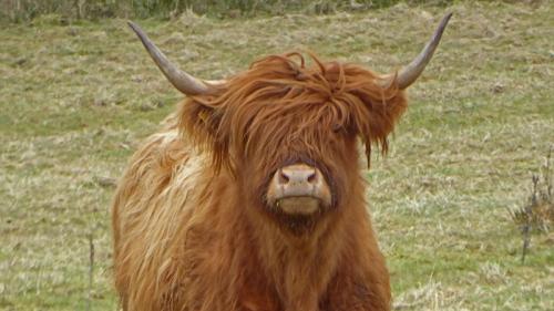 canonbie cow