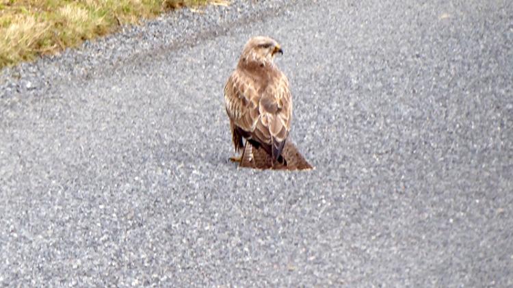 buzzard on road