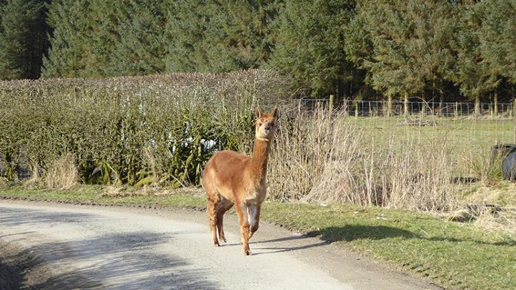 alpaca on road