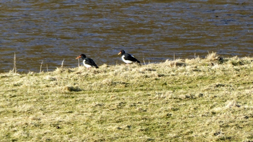 oyster catchers Benty