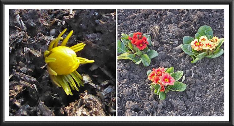 winter aconite and primrose