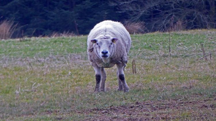 mean sheep