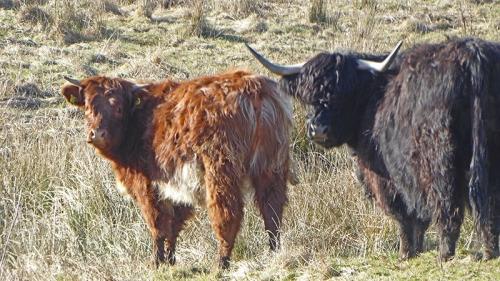 canonbie cows