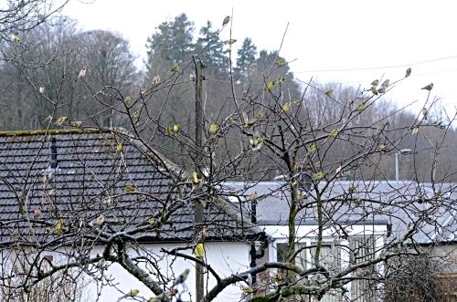 siskins in plum tree