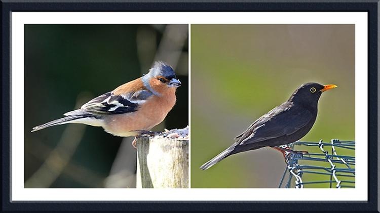 chaffinch and blackbird
