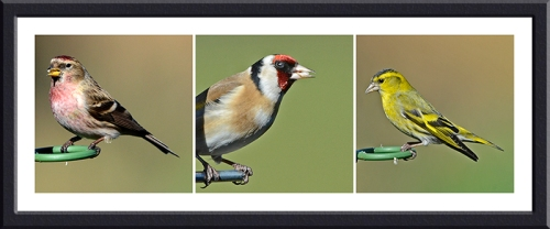 redpoll, goldfinch, siskin