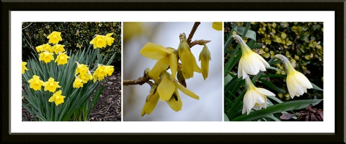 daffs and forsythia