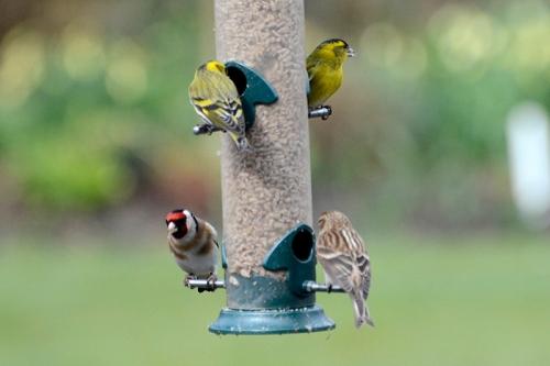 siskin, goldfinch, redpoll