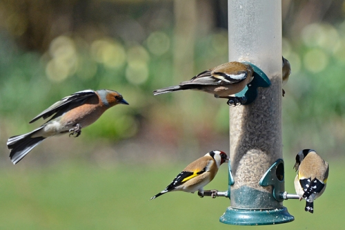 chaffinch approaching feeder
