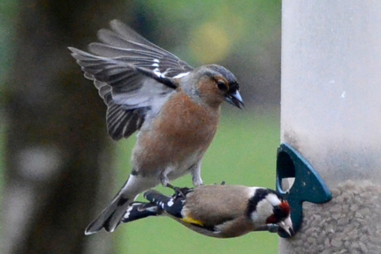 chaffinch stamping on goldfinch