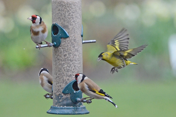 siskin and goldfinches