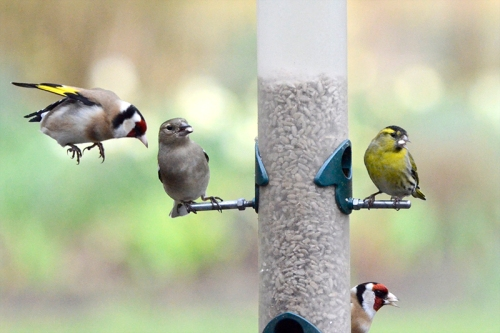 goldfinch, chaffinch and siskin