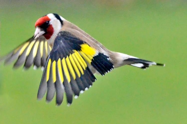 flying goldfinch