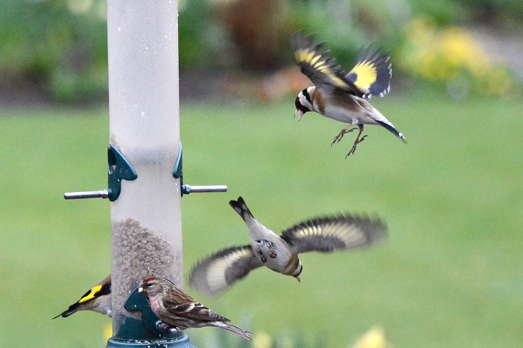 redpoll and goldfinches