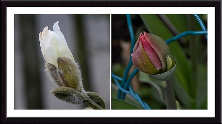 magnolia and tulip