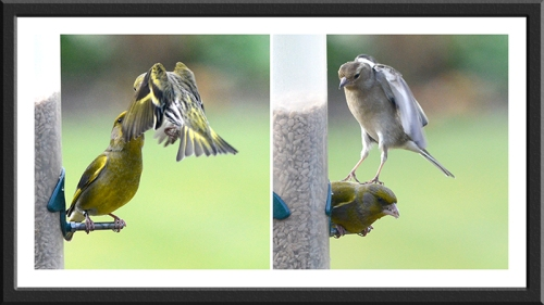 greenfinch being hounded