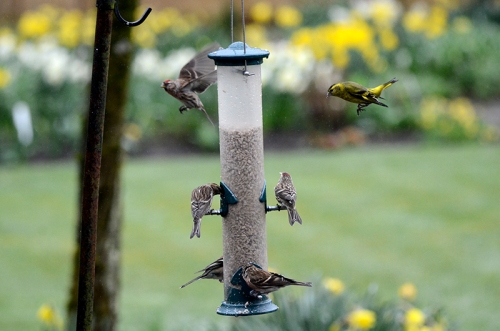 busy feeder with redpolls