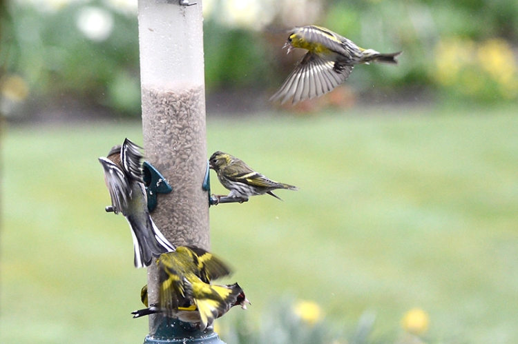 busy siskins