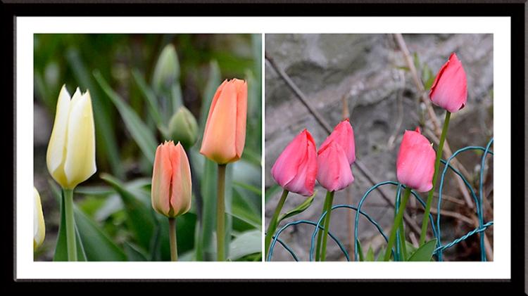 closed tulips
