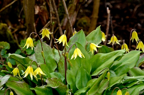 dog's tooth violets