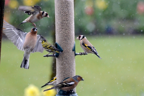busy feeder in the rain