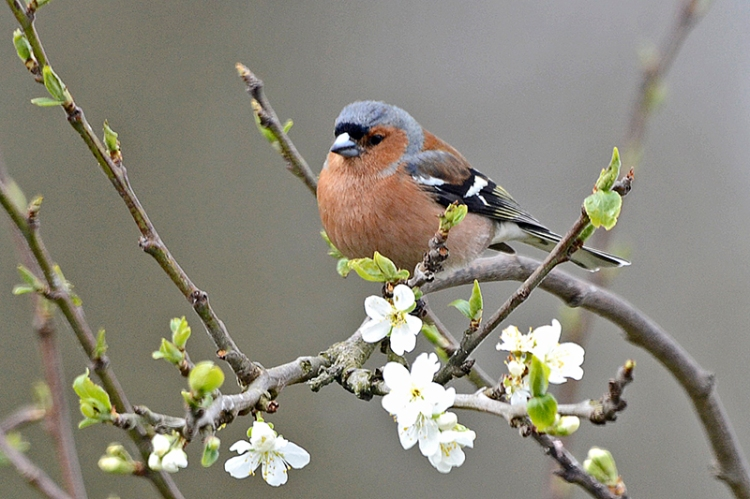 chaffinch and plum blossom