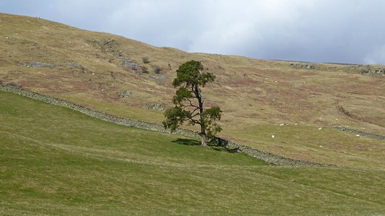 Ewes valley tree